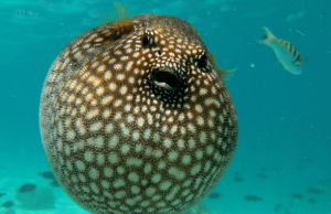 een kogelvis die helemaal is opgeblazen in de zee