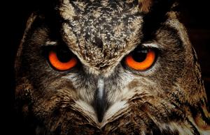 een close-up foto van een uil met oranje ogen die heel scherp en indringend kijkt. Hij kijkt bij je naar binnen.